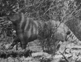 Rilla Martin's Ozenkadnook Tiger Photo, Revisited