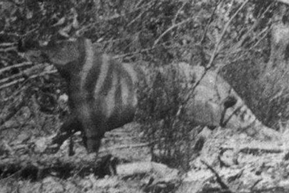 Rilla Martin's Ozenkadnook Tiger Photo, Revisited