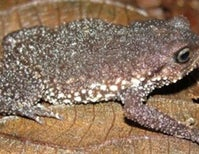 `Strange bedfellow frogs' (part I): rotund, adorable brevicipitids