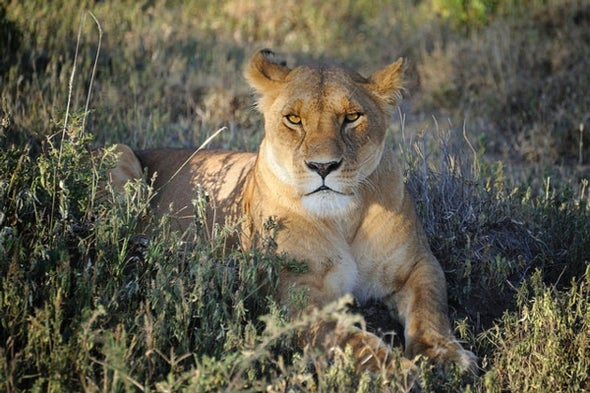 African Lion Populations Drop 42 Percent in Past 21 Years