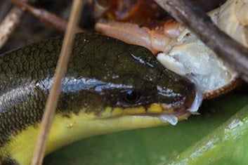 The Madagascan Skink Amphiglossus Eats Crabs - Scientific American