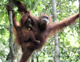 Call of the Orangutan: The Importance of Play