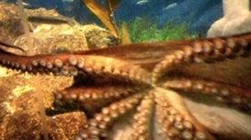 Do Octopuses Feel Pain?