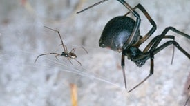 Why Are Black Widow Males So Destructive?