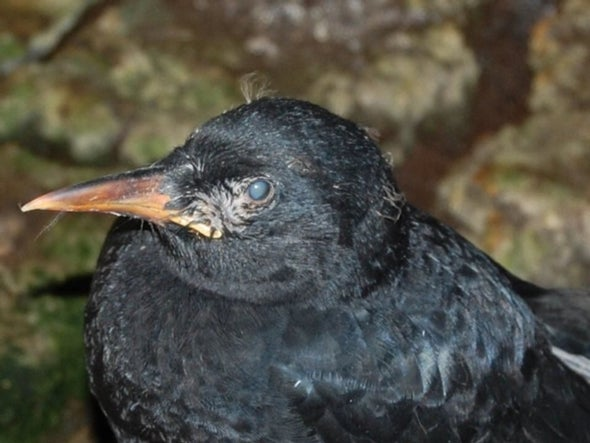 What's Blinding (and Killing) This Rare Scottish Bird?