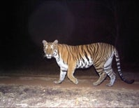 Along the Tiger's Trail: Trapping Season Begins