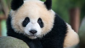 """Así fue cómo el """"pulgar"""" del panda evolucionó dos veces"""
