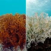 Coral de fuego