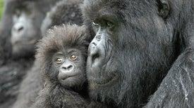 Podríamos ser testigos de una extinción masiva de primates en las próximas décadas