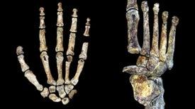 Las manos y los pies de <i>Homo naledi</i> eran muy similares a los nuestros