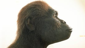 Conozca a Chewie, el Australopitecus más grande del que se tenga registro