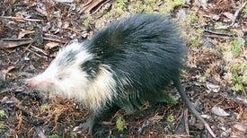 Científicos estudian al almiquí, un casi desaparecido mamífero cubano
