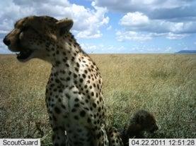 Cámaras ocultas capturan la vida salvaje del Serengueti