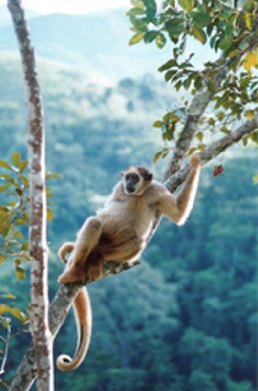 Mueren cientos de monos en selva brasileña por brote de fiebre amarilla