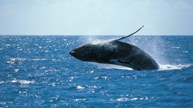 Ballenas se vuelven más vulnerables a los ataques de las gaviotas