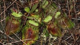 ¿Cómo se volvieron carnívoras las plantas?
