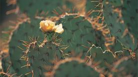 Científicos usan cactus para purificar el agua