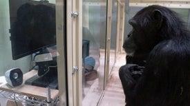 Puede que los chimpancés sean capaces de comprender la mente de los demás