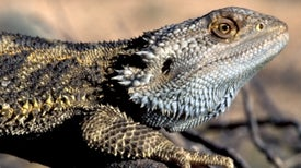 El calentamiento global revierte el sexo de los dragones barbudos
