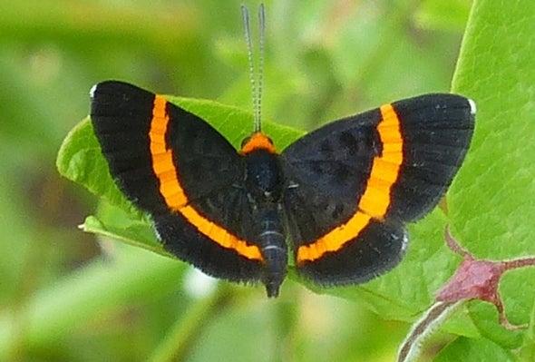 Tras de 56 años, mariposa perdida es redescubierta