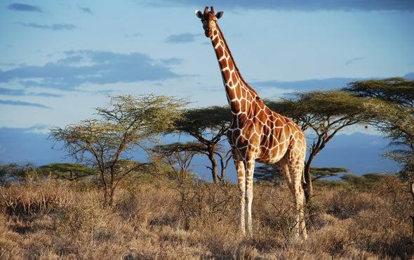 Las cuatro especies de jirafas africanas