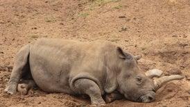 Fallece Nola, uno de los últimos rinocerontes blancos del norte