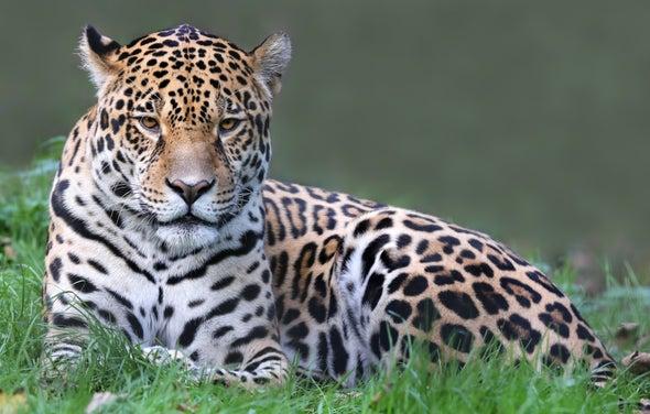 Caza ilegal pone en jaque a los jaguares de Panamá