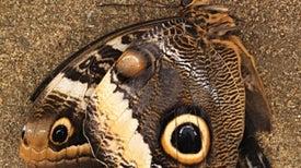 Mariposas modernas comparten características con insectos mesozoicos