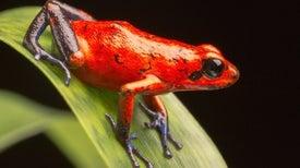 Los anfibios con defensas venenosas tienen mayor riesgo de extinción