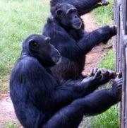 Chimpancés que cooperan logran un dulce resultado