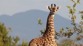 El genoma de las jirafas revela por qué tienen el cuello largo
