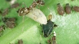Tres hormigas suramericanas han invadido el mundo