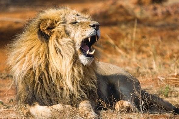 Los leones son los felinos más inteligentes