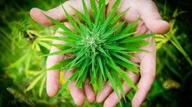 Fumar marihuana hace más propensa a la persona a consumir otras drogas
