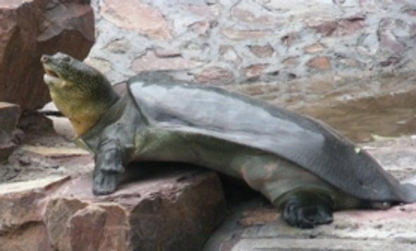 Una tortuga de 100 años, la última de su tipo, pronto podría ser mamá