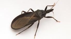 Científicos descodifican el genoma de uno de los transmisores del mal de Chagas