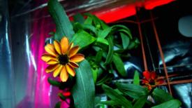 Las flores también pueden crecer en el espacio