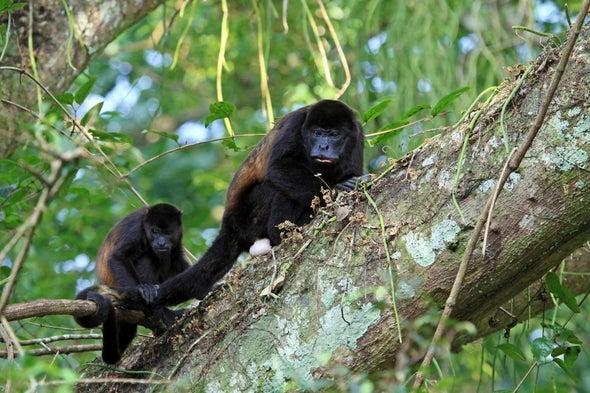 Reportan muerte masiva de monos aulladores en Nicaragua