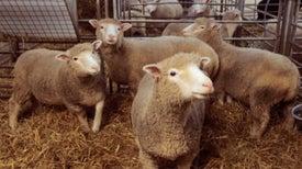 20 años después de que la oveja Dolly señalara el camino: ¿en dónde se encuentra la clonación ahora?