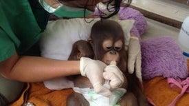 El rescate de un bebé orangután revela la crueldad del comercio ilegal de mascotas [vídeo]