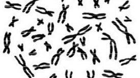 Una batalla de los sexos se libra en los genes de humanos, toros y otros