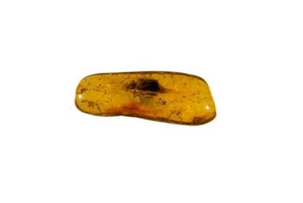 Un nuevo tipo de escarabajo se escondía bajo una pieza de ámbar báltico