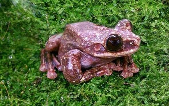 La rana de árbol Rabb se acaba de extinguir
