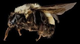 Por primera vez, EE.UU. declara en peligro de extinción a una especie de abejorro