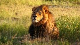 La muerte de Cecil pone en relieve la lucha por conservar a los leones