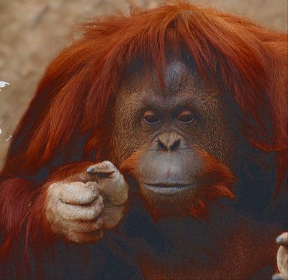 Sandra, la orangután cuyos derechos básicos son reconocidos en Argentina