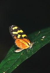 Nymphalidae ithomiinae mechanitis.