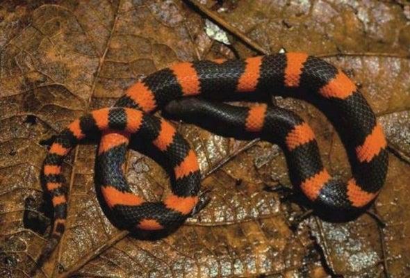 Rara serpiente excavadora descubierta en las montañas de México