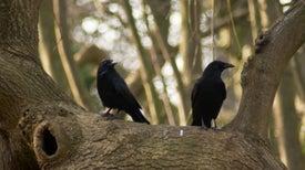 A pesar de su pequeño cerebro, los cuervos son tan inteligentes como los chimpancés