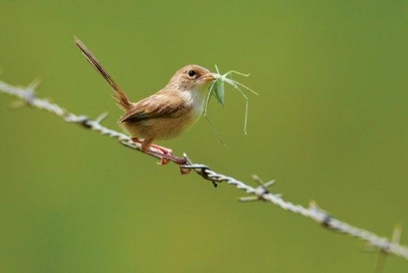 Algunas aves le enseñan a sus polluelos a cantar antes de salir del cascarón